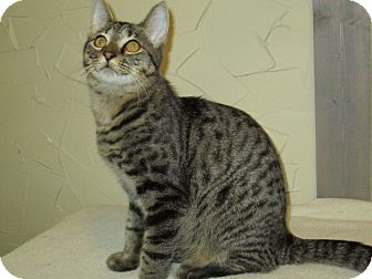Domestic Shorthair Cat for adoption in Richland, Michigan - OC