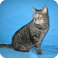 Domestic Shorthair Cat for adoption in Lancaster, Massachusetts - Candy