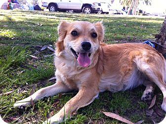 Golden Retriever/Sheltie, Shetland Sheepdog Mix Dog for adoption in Long Beach, California - GINGER