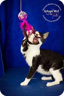 Domestic Shorthair Cat for adoption in San Antonio, Texas - Captain Jack Sparrow