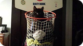 Domestic Longhair Kitten for adoption in Chicago, Illinois - Mick