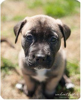 Boxer/Labrador Retriever Mix Puppy for adoption in Alexandria, Virginia - Paddy