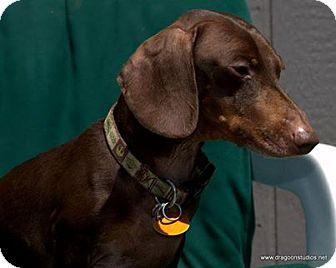 Dachshund Dog for adoption in Spokane, Washington - Scooby, pending home