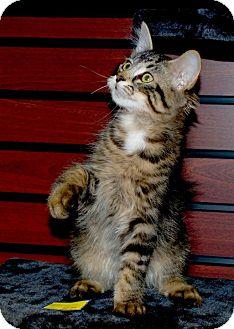Domestic Longhair Kitten for adoption in Sunderland, Ontario - Stanley