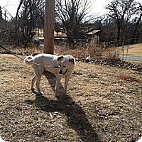 Great Pyrenees Mix Dog for adoption in Blanchard, Oklahoma - Addie
