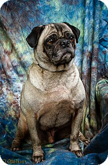 Pug Dog for adoption in Anna, Illinois - ODIE