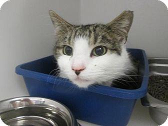 Domestic Shorthair Cat for adoption in Dahlgren, Virginia - KGAC Freddie