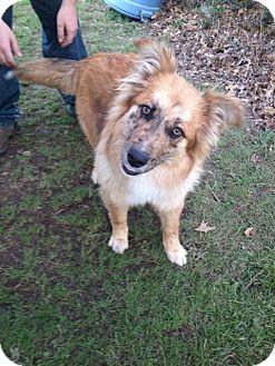 Border Collie/Sheltie, Shetland Sheepdog Mix Dog for adoption in Miami, Oklahoma - Tater