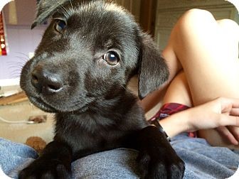 Labrador Retriever Mix Puppy for adoption in Rochester, New Hampshire - Betty