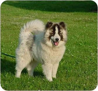 Bijou | Adopted Dog | Austin, MN | Chow Chow/Siberian ...  Bijou | Adopted...