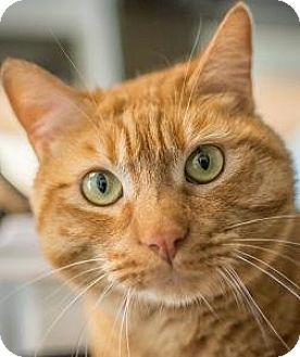 Domestic Shorthair Cat for adoption in Truckee, California - Tangerine