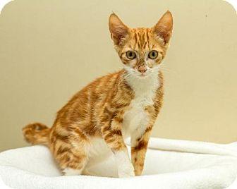 Domestic Shorthair Kitten for adoption in Bellingham, Washington - Benedict