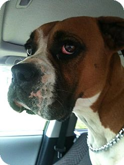 Boxer Dog for adoption in Brentwood, Tennessee - Brindle