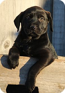 Labrador Retriever/Retriever (Unknown Type) Mix Puppy for adoption in Westport, Connecticut - *Angus - PENDING