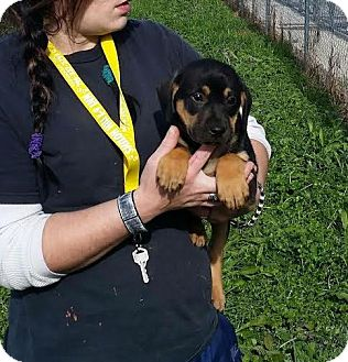 Shepherd (Unknown Type)/Labrador Retriever Mix Puppy for adoption in Laingsburg, Michigan - Bryson