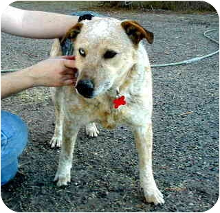 Australian Cattle Dog Mix Dog for adoption in Scottsdale, Arizona - Ralphie