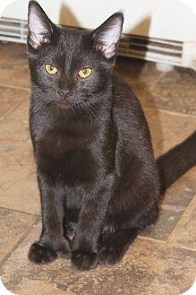 Hemingway/Polydactyl Kitten for adoption in Redding, California - Navajo