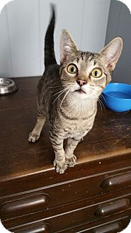 Domestic Shorthair Kitten for adoption in Adona, Arkansas - Ellis