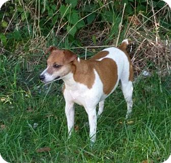 Jack Russell Terrier Dog for adoption in Bonner Springs, Kansas - Rex