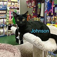 Bombay Cat for adoption in Satellite Beach, Florida - Johnson