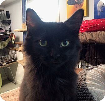 Domestic Longhair Cat for adoption in Lombard, Illinois - Channing