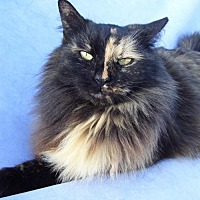 Domestic Mediumhair Cat for adoption in McConnells, South Carolina - Samone