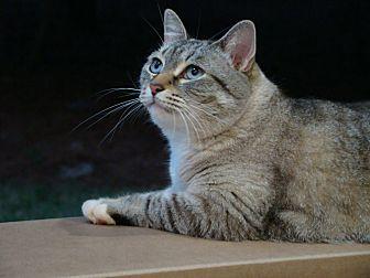 Domestic Mediumhair Cat for adoption in Waxhaw, North Carolina - Annie (orphan Annie)
