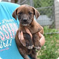 Adopt A Pet :: JOSS - South Dennis, MA