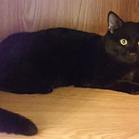 Adopt A Pet :: Midnight - Parkton, NC