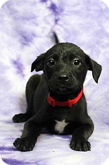 Retriever (Unknown Type)/Shepherd (Unknown Type) Mix Puppy for adoption in Westminster, Colorado - Pickle