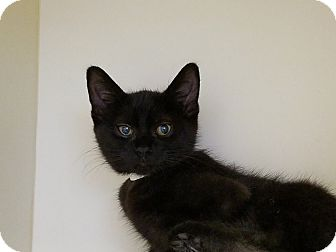 Domestic Shorthair Kitten for adoption in Elyria, Ohio - Allen 3