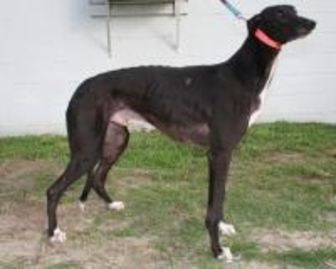 Greyhound Mix Dog for adoption in Columbus, Ohio - CJ Fudge Brownie