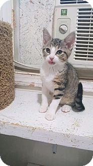 Domestic Shorthair Kitten for adoption in Ashland, Ohio - Betty