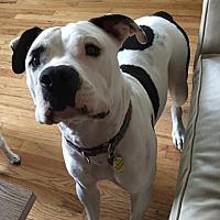 Adopt A Pet :: Marsh - Strongsville, OH