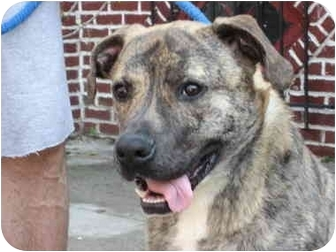 Mastiff/Shepherd (Unknown Type) Mix Dog for adoption in Long Beach, New York - Leo