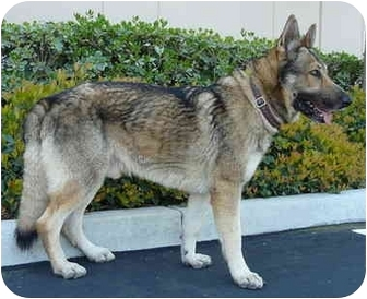 German Shepherd Dog Mix Dog for adoption in Los Angeles, California - Hudson von Rotlande