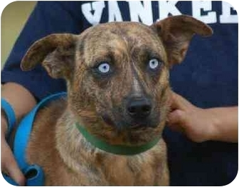 Catahoula Leopard Dog/Australian Shepherd Mix Dog for adoption in Spring Valley, New York - Tiger