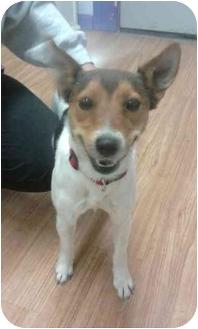 Rat Terrier Mix Puppy for adoption in Worcester, Massachusetts - Kali