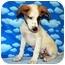 Photo 4 - Australian Cattle Dog/Australian Cattle Dog Mix Puppy for adoption in Broomfield, Colorado - 1Captain America