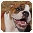 Photo 1 - English Bulldog Puppy for adoption in Winder, Georgia - Winston
