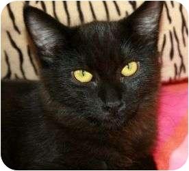Domestic Shorthair Cat for adoption in Canoga Park, California - Magic