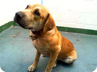 Labrador Retriever Mix Dog for adoption in Miami, Florida - Lucy
