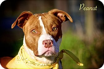 American Staffordshire Terrier/American Pit Bull Terrier Mix Puppy for adoption in Flowery Branch, Georgia - Peanut