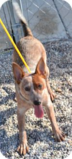 Cattle Dog Mix Puppy for adoption in Fruit Heights, Utah - Limbo