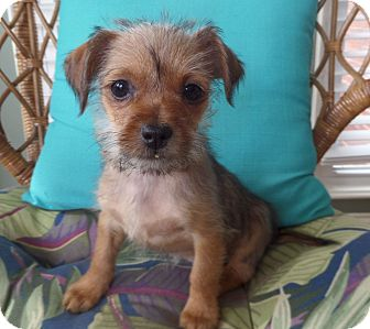 Yorkie, Yorkshire Terrier/Chihuahua Mix Puppy for adoption in Huntsville, Alabama - Libby