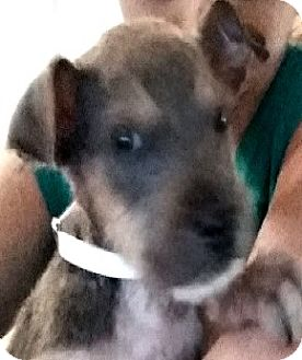 Border Terrier Mix Puppy for adoption in Boulder, Colorado - Bruce