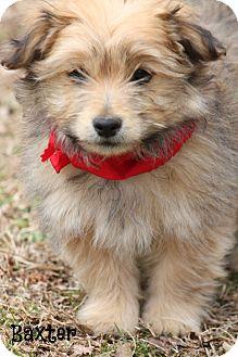 Schnauzer (Standard)/Pomeranian Mix Puppy for adoption in Cranford, New Jersey - Baxter