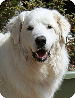 Great Pyrenees Dog for adoption in Tulsa, Oklahoma - Gracie  *adopted