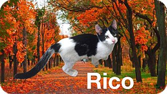 Domestic Shorthair Kitten for adoption in Collinsville, Oklahoma - Rico
