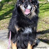 Adopt A Pet :: Chauncy - MINI AUSSIE - Mesquite, TX